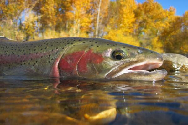Fly Fishing Mammoth Lakes, Mammoth Lakes Vacation Rentals, Mammoth Mountain Vacation Rentals, Resort Vacation Properties, Mammoth Lakes Fishing, Fly Fishing Yosemite